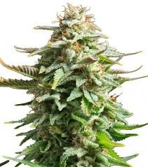 Pineapple Kush semillas femeninas
