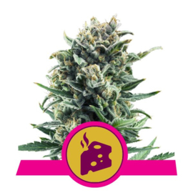 Blue Cheese semi femminili