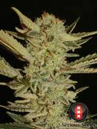 Bubble Gum semi cannabis femminile