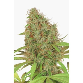 DUTCH HAZE Female Seeds