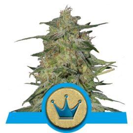Semi femminili medicinali Royal Highness