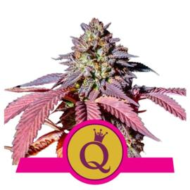 Purple Queen vrouwelijke wietzaden