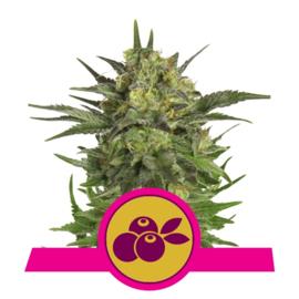 Haze Berry Vrouwelijke Wiet Zaadjes