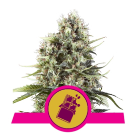 Chocolate Haze semillas femeninas