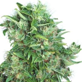 Think Different semillas autoflorecientes femeninas