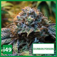 Durban Poison Semillas Femeninas