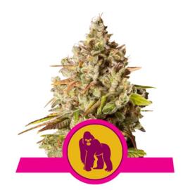 Royal Gorilla Semillas femeninas