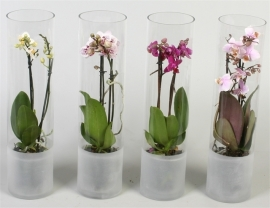 mini orchidee in glas
