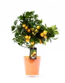 Citrusboompje in sierpot