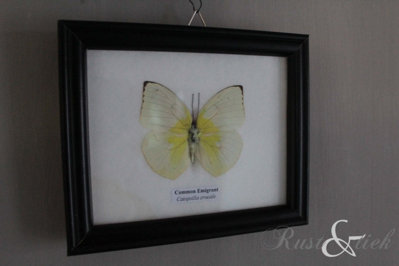 Vlinder Common Emigrant