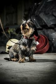 Honden halsbanden
