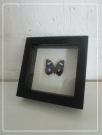 Opgezette vlinder in luxe lijst Hypolimas Bolina
