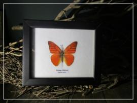 Orange Albatross vlinder (Appias nero)