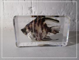 Maanvis vis  in hars