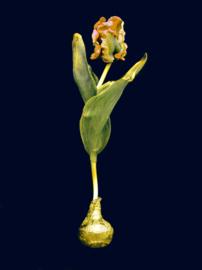 Tulpenkoorts