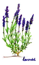 Lavendel (Lavandula angustifolia) kruidenkaart met recept