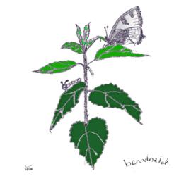Brandnetel (Urtica dioica) kruidenkaart met recept