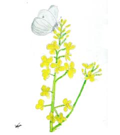 Koolzaad met zakje mix bloemenzaden