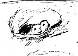 Ijsbeer: Nest