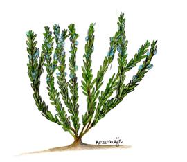 Rozemarijn (Rosemarinum Officinalis) kruidenkaart met recept