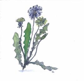 Paardebloem (Taraxacum officinale) kruidenkaart met recept