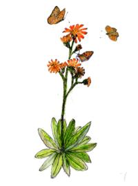 Havikskruid (Hieracium aurantiacum)