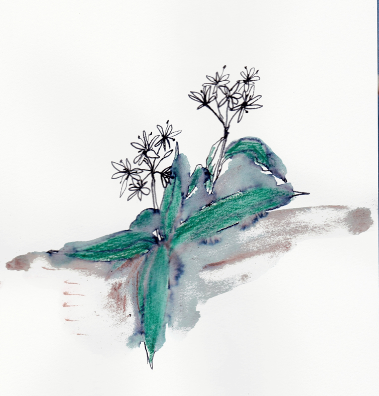 Daslook (Allium Ursinum)  kruidenkaart met recept