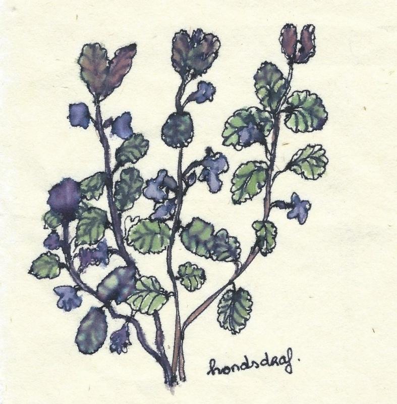 Hondsdraf                       (Glechoma hederacea) kruidenkaart met recept