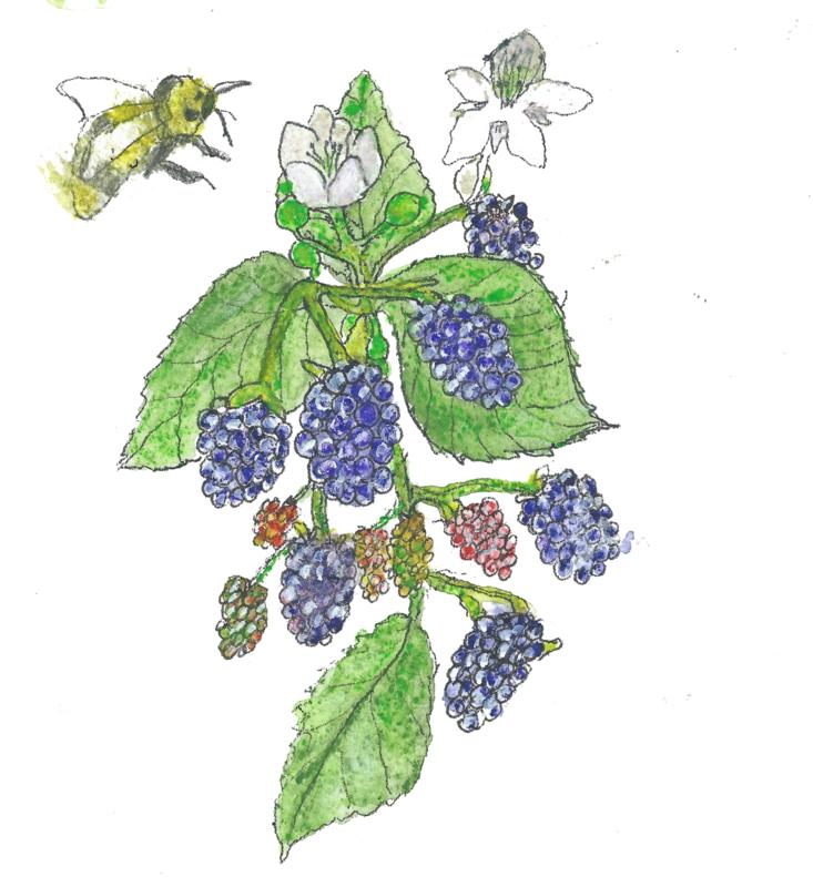 Bramen (Rubus fruticosus)   ( plantenkaart met recept)