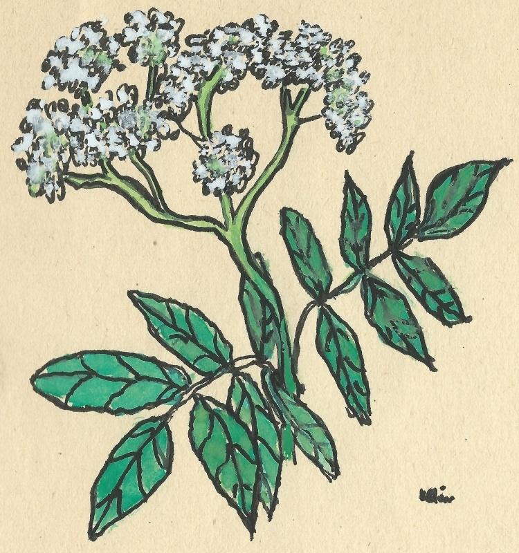 Vlier (Sambucus) boomkaart met recept