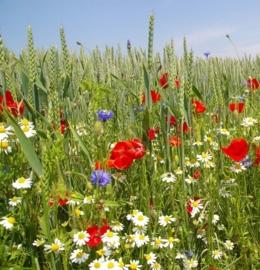 Tarwe en Akkerflora