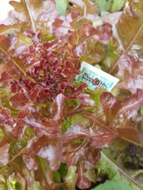 Eikenblad sla plant