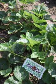 Aardbei planten Ostara