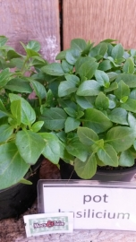 Basilicum fijn, pot basilicum