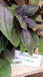 Basilicum Magic Blue