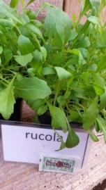 Rucola plant