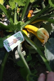 Courgette plant geel