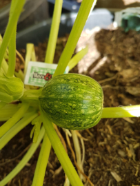 Courgette plant,  Bol courgette