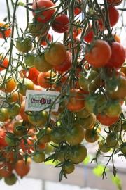 Kers tomaat , cherry  diverse soorten