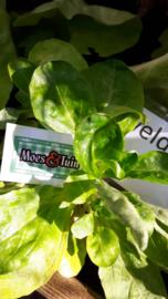 Veld sla plant