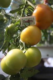 Geënte gewone tomaat