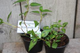 Vietnamese Koriander plant