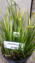 Zoethoutgras