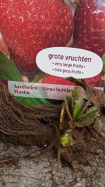 Aardbei Maxim laat ras grote vrucht