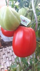 Pruim tomaat pitloos, Cornabel