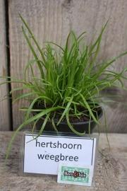 Hertshoorn weegbree