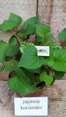 Japanse koriander plant