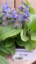 Komkommerkruid, Borage plant