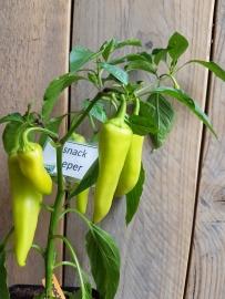 Peperplant, Snack peper