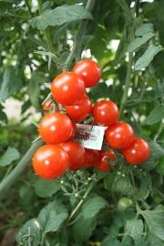 Geënte tomaat, cherry of kers tomaat